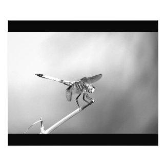 Poster da libélula impressão de foto