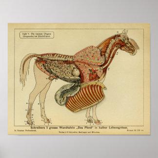 Poster da propaganda da anatomia do cavalo do