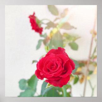 Poster da rosa vermelha