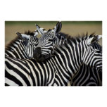 Poster da zebra