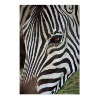 Poster da zebra de Chapman