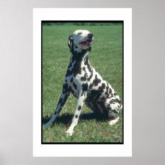 Poster Dalmatian de sorriso