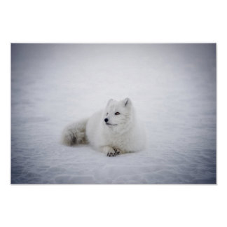 Pôster Descanso do Fox da neve