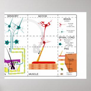 Psteres e impresses sistema nervoso zazzle poster diagrama da organizao do sistema nervoso ccuart Gallery