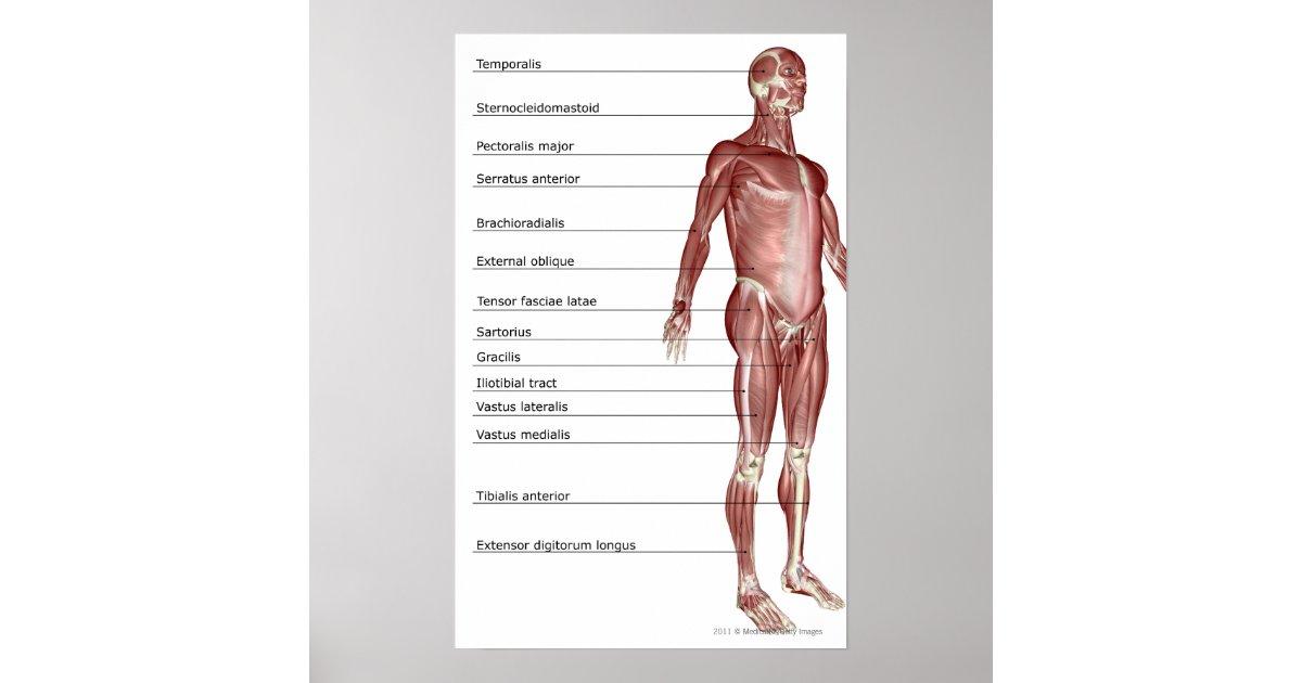 Pôster Diagrama do sistema muscular | Zazzle.com.br