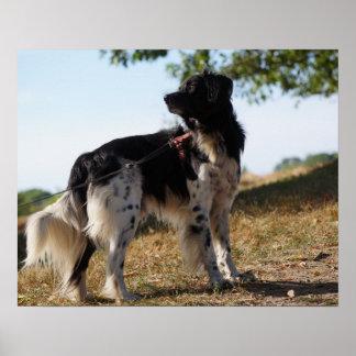 Poster do cão do Spaniel de Brittany