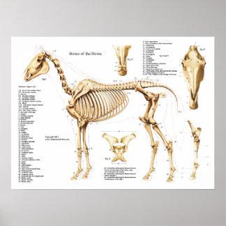 Poster do esqueleto da anatomia do cavalo