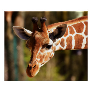 Poster do girafa - animais do jardim zoológico dos