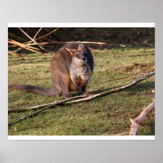 Poster do wallaby do pântano (Wallabia bicolor)
