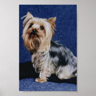 Poster do yorkshire terrier