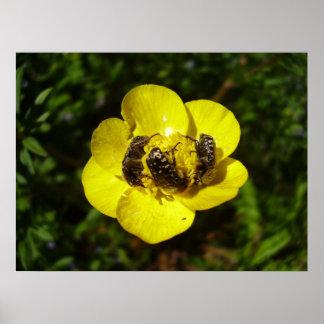 Poster dos besouros de Oxythyrea Funesta