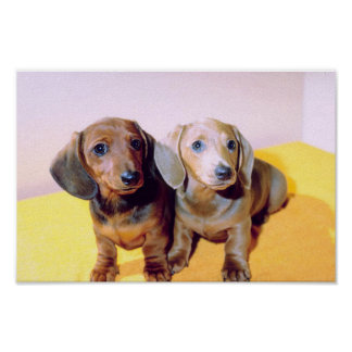 Poster dos Dachshunds