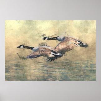 Poster dos gansos de Canadá