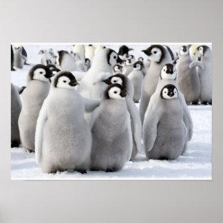 Poster dos pintinhos do pinguim de imperador