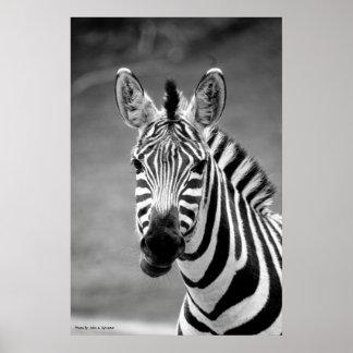 POSTER DSC_8249, sorriso da zebra