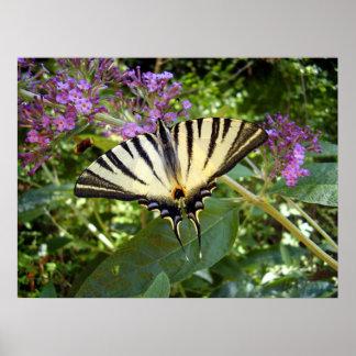 Poster escasso da borboleta de Swallowtail