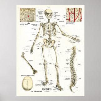 Poster esqueletal humano da anatomia