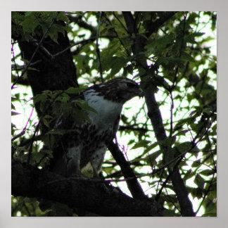 Pôster Falcão em uma árvore