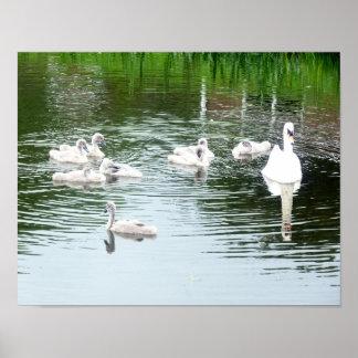 Pôster Família das cisnes