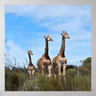 Pôster Família do girafa na cume gramínea