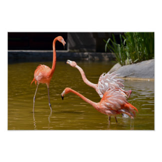 Poster Flamingos das caraíbas na água