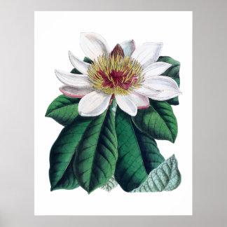 Poster Flor branca Cusion da magnólia grande