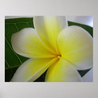 Poster Flor branca e amarela do Frangipani
