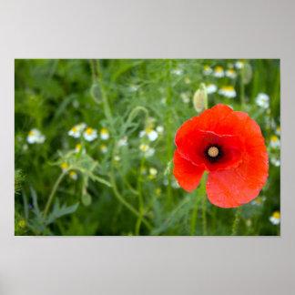 Pôster Flor vermelha da papoila em um campo