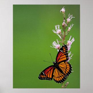 Pôster Flores da borboleta de monarca e da estrela de