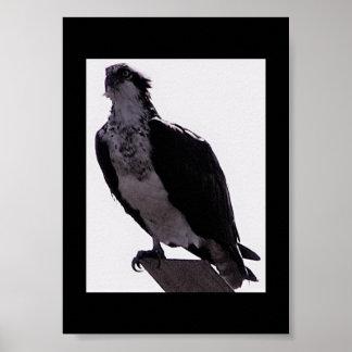 Pôster Foto do falcão