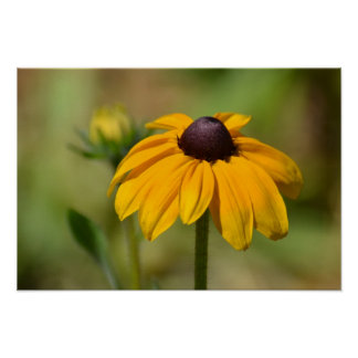Poster Fotografia da flor de Susan de olhos pretos