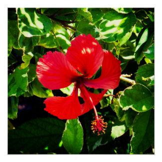 Pôster Hibiscus vermelho exótico