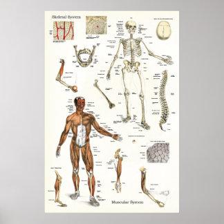 Poster humano 24 x 36 esqueletal e do músculo da