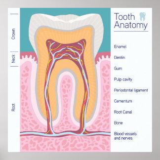 Pôster Ilustração da anatomia do dente