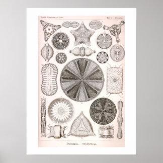 Pôster Ilustração do vintage das diatomáceas
