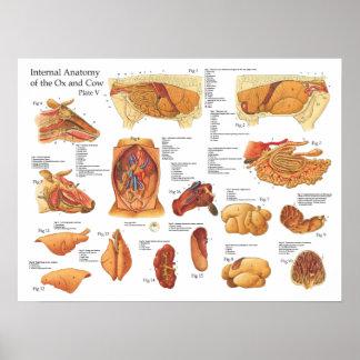 Poster interno da anatomia da vaca bovina