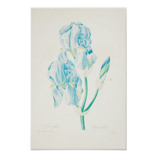 Pôster Íris azul por Redoute