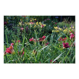 Pôster Jardins do hemerocallis de Reblooming do verão