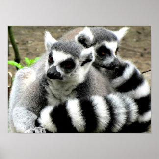 Pôster Lemurs Anel-Atados