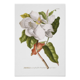 Poster Magnolia.