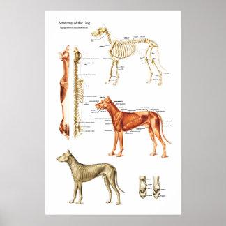 Poster muscular e esqueletal do cão da anatomia pôster
