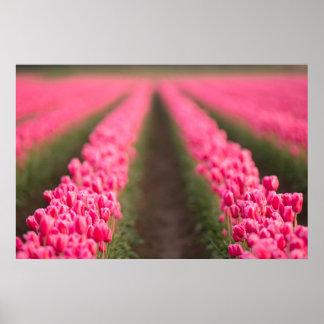 Pôster O campo de fazenda cor-de-rosa das tulipas