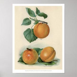 Poster O vintage frutifica ilustração - abricó