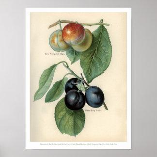 Poster O vintage frutifica ilustração - calibre e ameixa