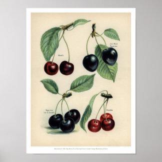 Poster O vintage frutifica ilustração - cereja
