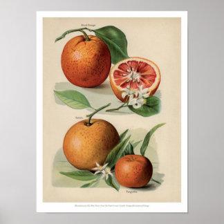 Poster O vintage frutifica ilustração - laranja