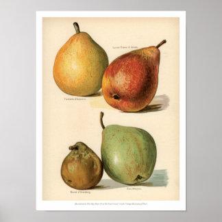 Poster O vintage frutifica ilustração - pera 2