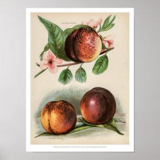 Poster O vintage frutifica ilustração - pêssego