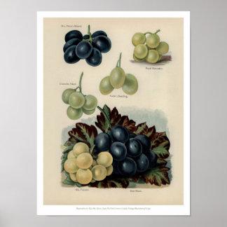 Pôster O vintage frutifica ilustração - uva