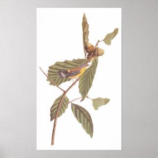 Pôster Pássaro da toutinegra da magnólia de Audubon do